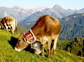 Allgäu Alpwirtschaft: Kuh mit Schelle kurz vor dem Viehscheid in Obermaiselstein im Allgäu, © Tourismus Hörnerdörfer, A. Milz