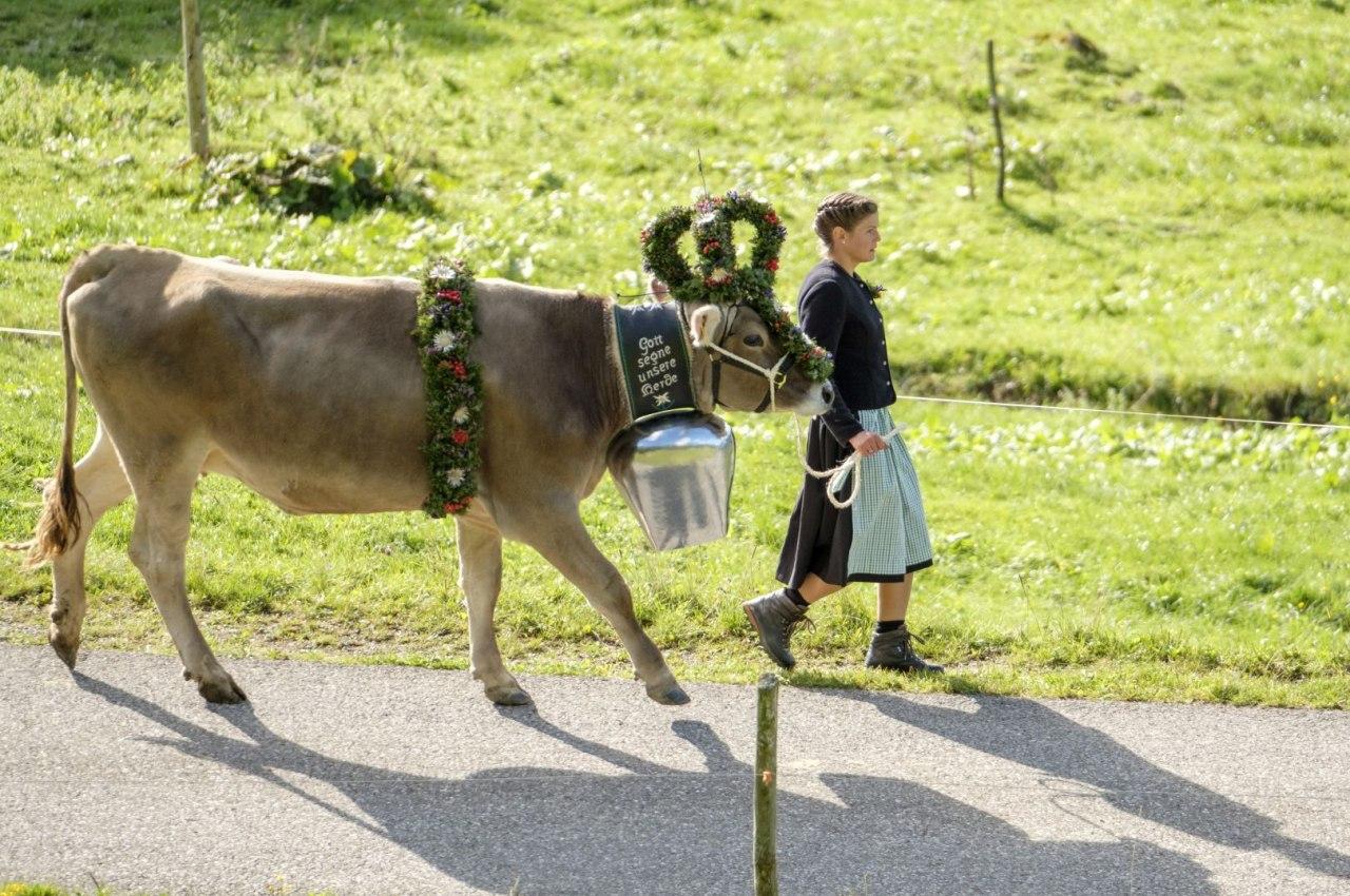 Geschmückte Kranzkuh am Balderschwanger Almabtrieb, © Tourismus Hörnerdörfer / ProVisionMedia