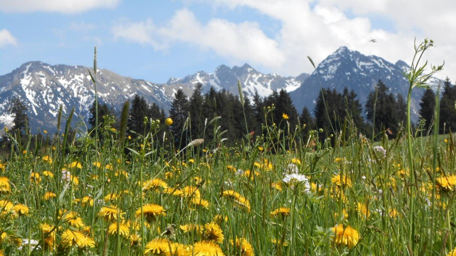 Alpen mit Löwenzahnwiese