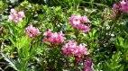 Alpenrose, © Renate Mair