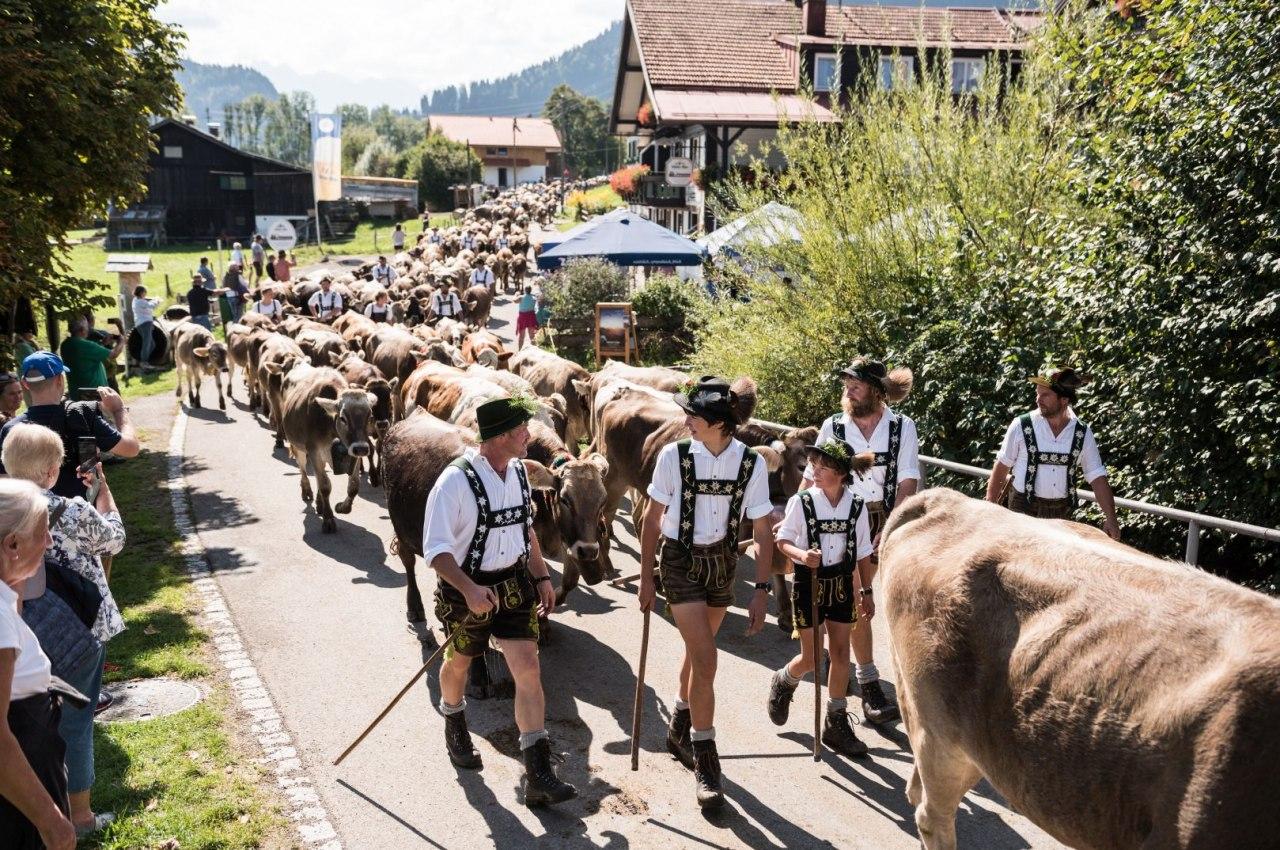 Viehscheid der Alpe Bolgen in Bolsterlang im Allgäu, © Tourismus Hörnerdörfer, F. Kjer
