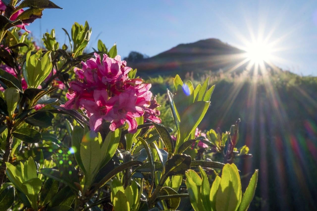 Alpenrosenblüte am Riedbergerhorn bei Obermaiselstein im Allgäu, © Tourismus Hörnerdörfer