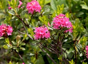 Alpenrosenblüte im Naturpark Nagelfluhkette in den Hörnerdörfern im Allgäu, © Pixabay